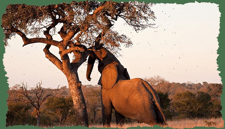 Arbre marula éléphant