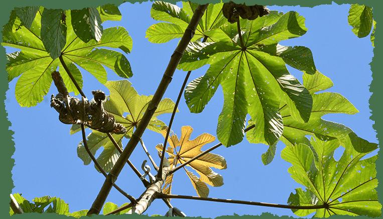 Cecropia obtusa plante