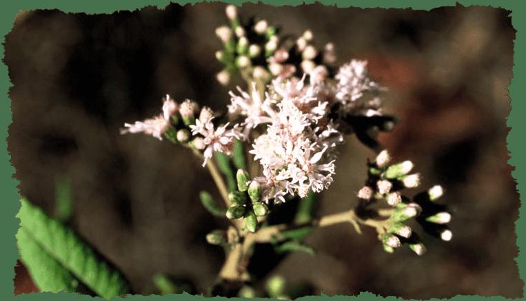 Vernonia appendiculata plante