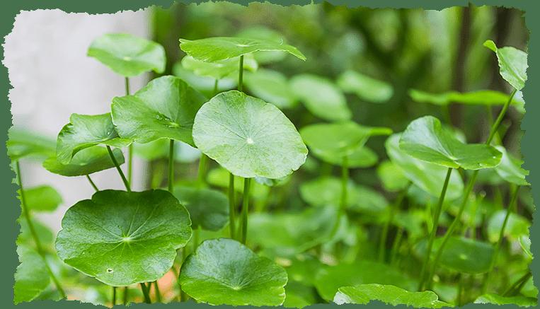 Centella asiatica Plante