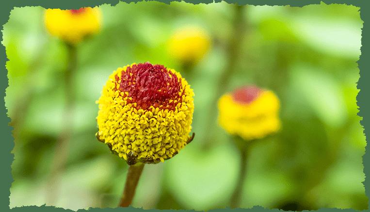 Brede Mafane Plante